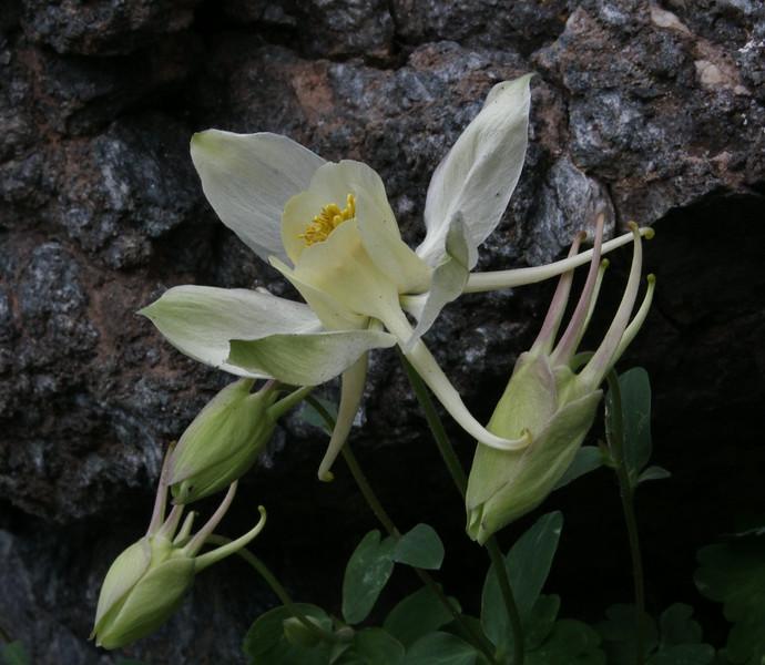Aquilegia flavescens