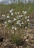Penstemon laricifolius ssp. exilifolius