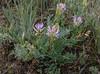 Astragalus cf. agrestis