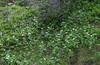 Trollius albiflorus,
