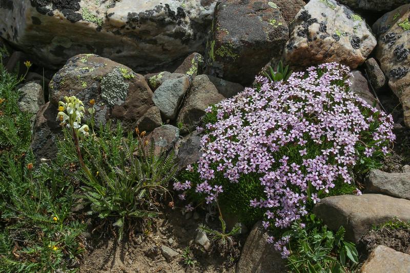 Pedicularis cf bractosa and Silene acaulis