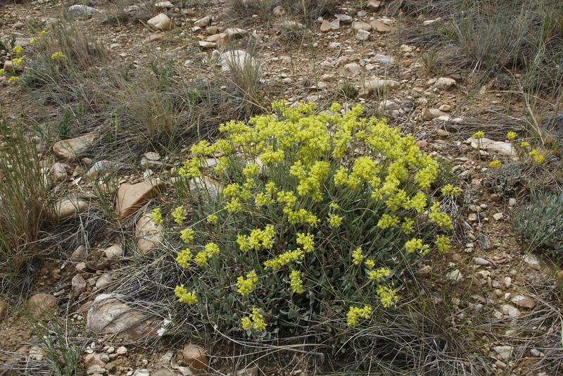 Eriogonum arcuatum var. arcuatum