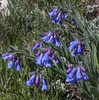 Mertensia alpina or alpestris