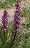 Pedicularis groenlandica