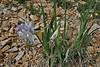 Iris missouriensis, Missouri Iris