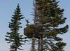 Abies lasiocarpa,  (A. bifolia)