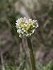Micranthes integrifolia