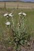 Cirsium canescens