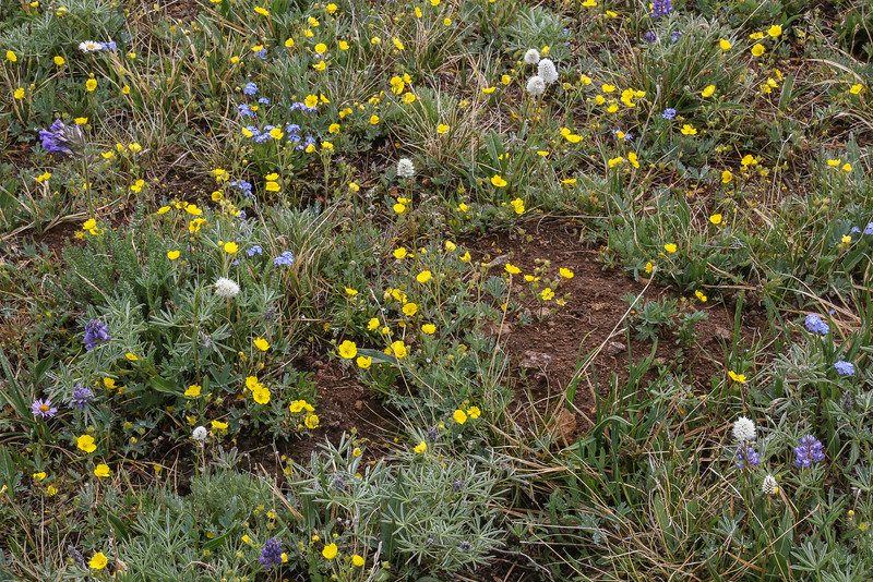 Ranunculus orthorhynchus and other wildflowers