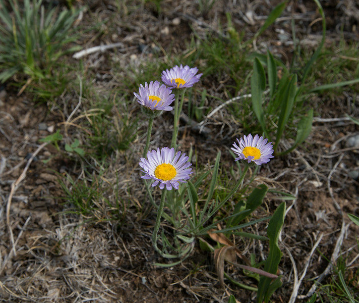 Aster alpigenus var. haydenii, Alpine Aster, Lovell, WY.