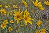 Heliomeris multiflora. var. multiflora