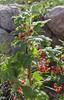 Ribes lacustre,