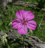 Geranium viscosissimum, Sticky Geranium, Lee Metcalf Wilderness area, near Hebgen Lake, N of West Yellowstone entrance