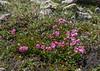 Kalmia microphylla,