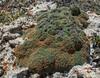 Kelseya uniflora
