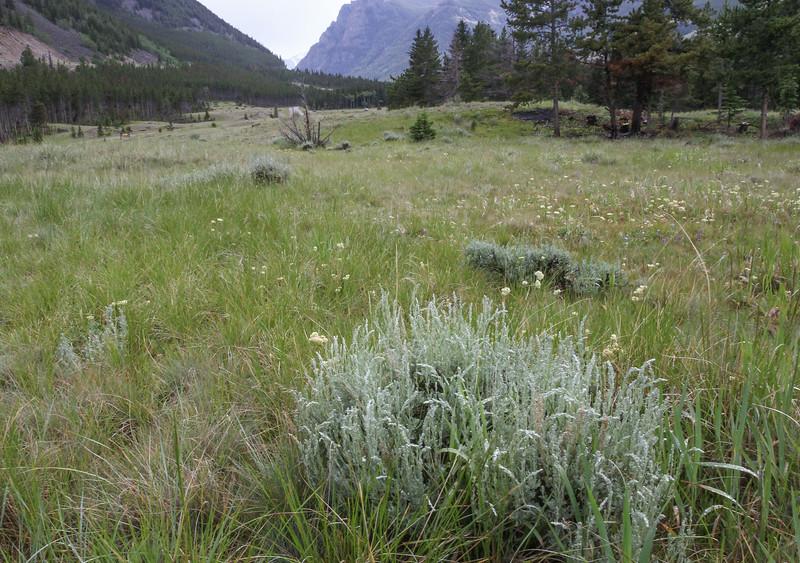 Artemisia spec.