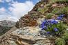 Mertensia alpina