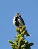 Junco hyemalis ssp. mearnsi