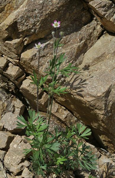 Anemone multifida, possibly var. tetonensis,