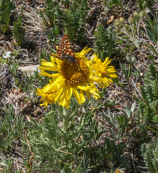 Euphydryas chalcedona on Hymenoxys grandiflora,