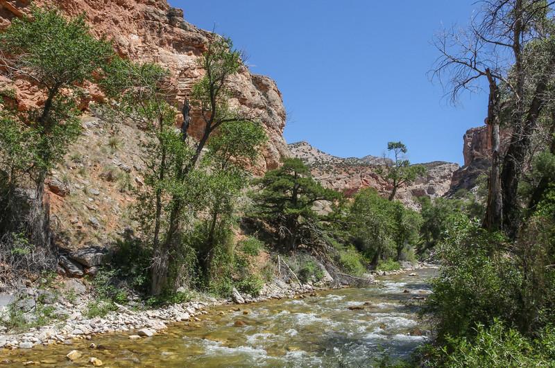 Juniperus (Sabina) scopulorum