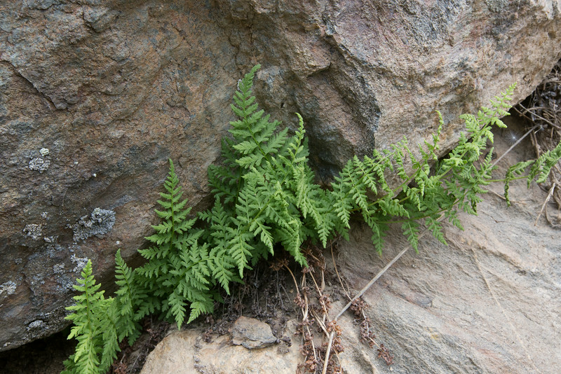 Cystopteris fragilis (or Woodsia scopulina)