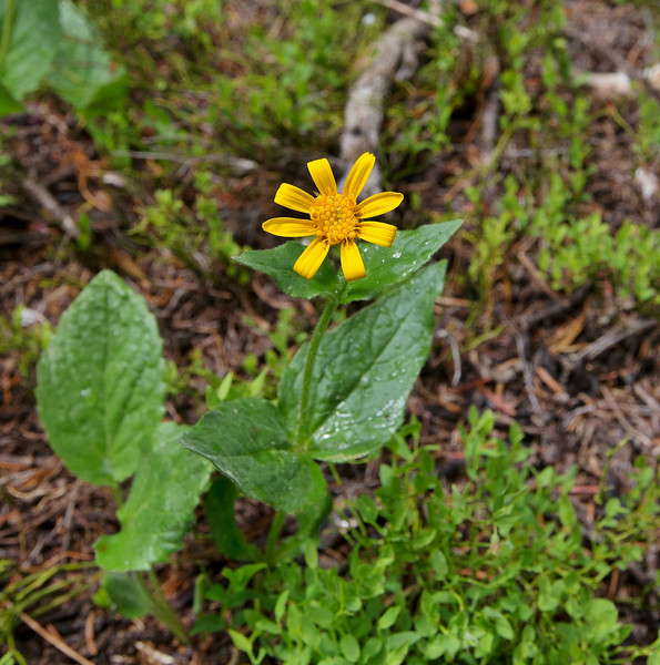 Arnica latifolia, Mountain Arnica, Custer National Forest, MT.
