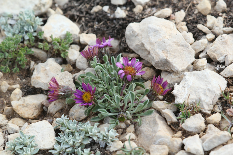 Townsendia montana