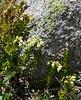 Phyllodoce glanduliflora, Yellow Mountain Heather.