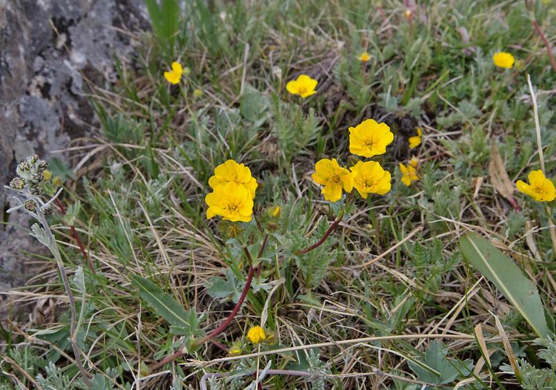 Potentilla diversifolia, Diverse- or Blue-leaved Cinquefoil, Beartooth Plateau >3000m