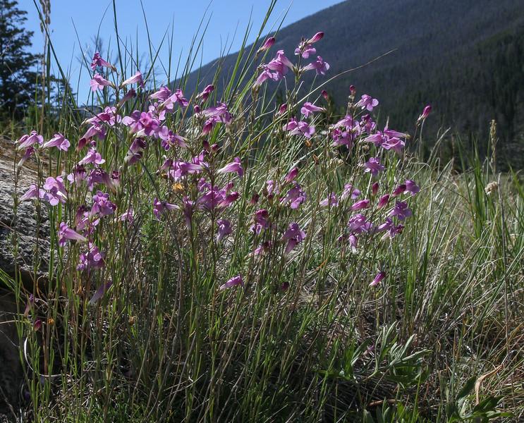 Penstemon laricifolius subsp. laricifolius