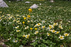 Trollius albiflorus, and Erithronium grandiflorum