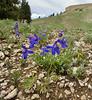 Delphinium bicolor, Low Larkspur,