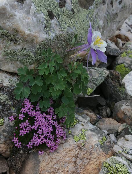 Silene acaulis and Aquilegia coerulea