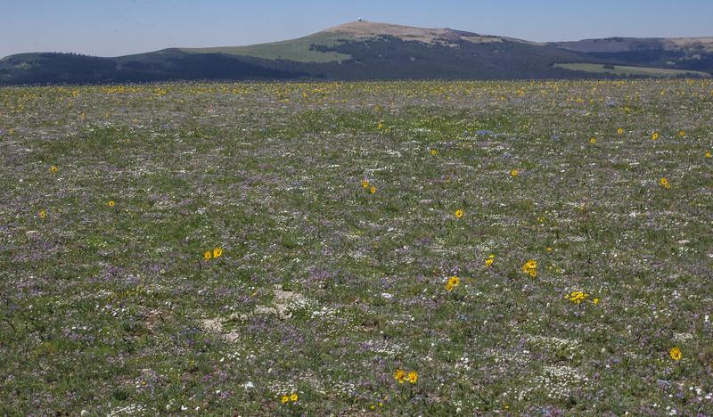Flowermeadow with Hymenoxys grandiflora