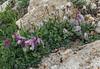 Clematis columbiana var. tenuiloba