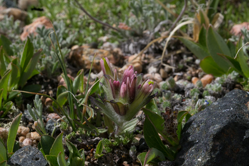 Castilleja pulchella, Alpine Meadow Paintbrush, Bearteeth Plateau.