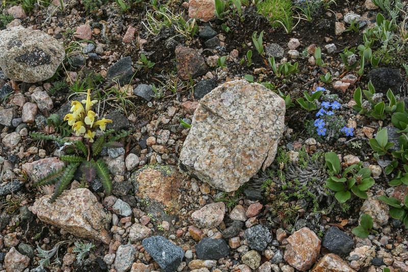 Pedicularis oederi and Eritrichium nanum