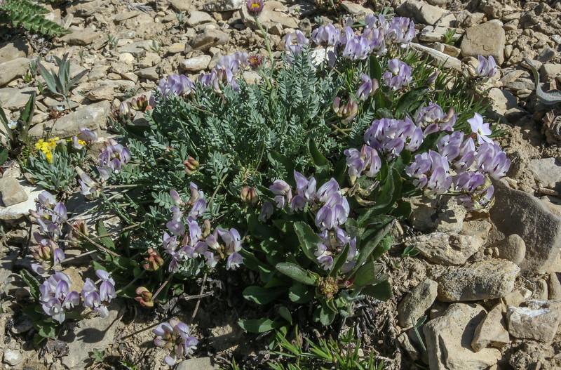 Astragalus spec. ?
