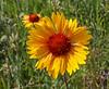 Gaillardia aristata