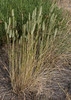 Agropyron cristatum