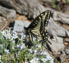 Papilio zelicaon on Phlox pulvinata
