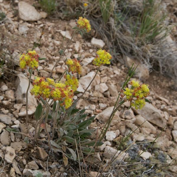 Eriogonum spec.