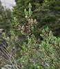 Salix cf. tweedyi
