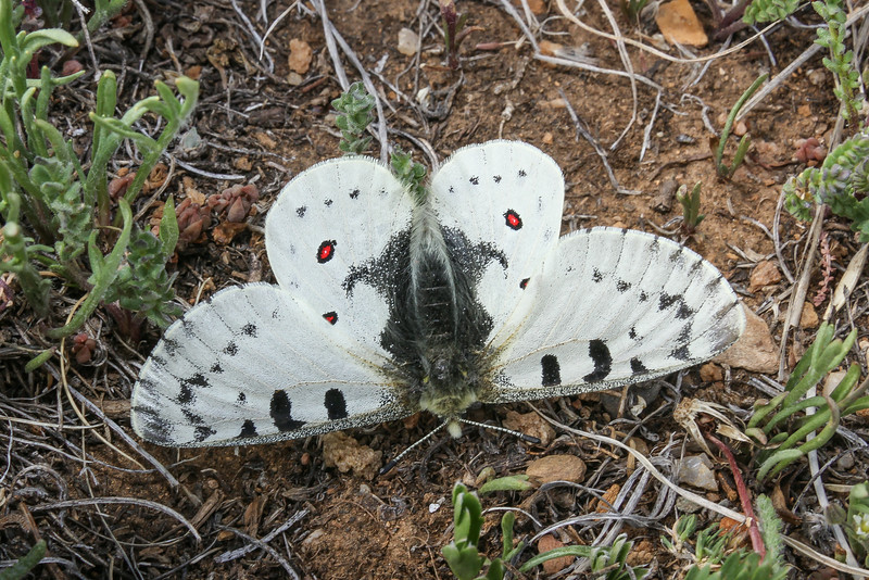 Parnassius phoebus