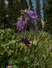 Penstemon whippleanus?