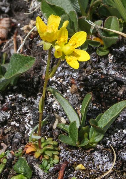 Saxifraga flagellaris
