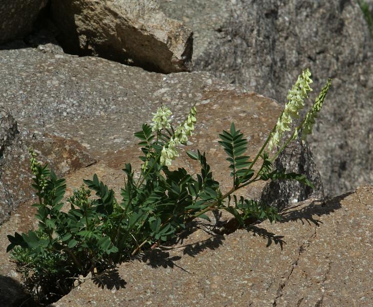 Hedisarum sulphurescens
