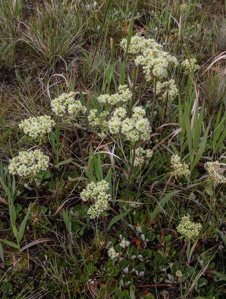 Eriogonum umbellatum
