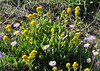 Solidago spec. and Erigeron cf. speciosus